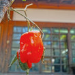 The red bell pepper in nature. — Stock Photo