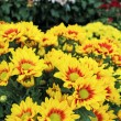 Beautiful chrysanthemum in the garden — Stock Photo