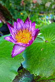 Purple lotus na natureza — Foto Stock
