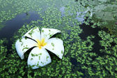 White frangipani flowers in water fern. — Stock Photo