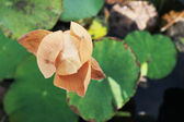 Withered lotus flower in nature — Stock Photo