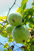 Passion fruit in the garden — Stock Photo