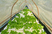 Butter head vegetable in hydroponic farm — Stock Photo