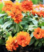 Colorful daisy flowers in the garden — Stok fotoğraf