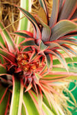 Bromeliad flowers in the nature — Stock Photo