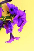 The petunias purple flowers — Stock Photo