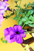 The petunias purple flowers — Foto Stock