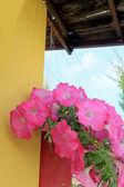 The petunias pink flowers — Stock Photo