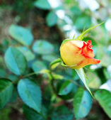 Yellow rose in the garden — Stock Photo