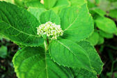 Hydrangeas flower in garden — Stock Photo
