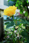 Yellow rose in the garden — Stock Photo