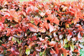 Red leave in garden — Stock Photo