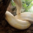 Albino snake on nature — Stock Photo #38321481