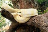 Albino serpente sulla natura — Foto Stock