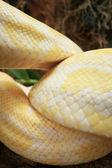 Albino snake on the nature — Foto de Stock