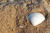 Shell on sand beach. — Stock Photo
