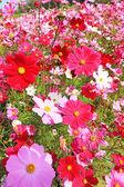 Pink cosmos flower in the garden — Stock Photo