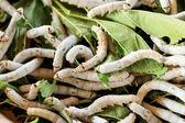 吃鲜桑叶的蚕 — 图库照片