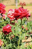 красная роза в саду — Стоковое фото