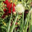 Stock Photo: Onion flower stem