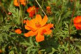 Daisy flowers - yellow flowers — Stock Photo