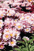 Pink daisy flowers in the garden — Stock Photo