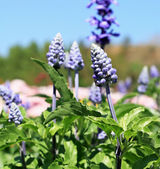 Field of purple salvia flowers — Stock Photo