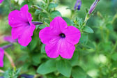 The petunias flowers in nature — Stock Photo
