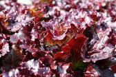 Rosso corallo vegetale in fattoria idroponica — Foto Stock