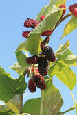 Mulberry fruit in the garden — Stock Photo