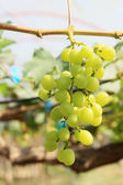Fresh grapes in the vineyard — Stock fotografie