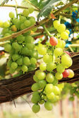 Fresh grapes in the vineyard — Stock Photo