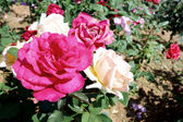 Beautiful rose garden wide — Photo