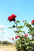 Rosa rossa nel giardino — Foto Stock