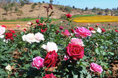 Beautiful rose garden wide — Stock Photo