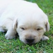 Stock Photo: Sleeping labrador puppies on green grass - three weeks old.