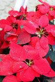 Arbre rouge dans le jardin — Photo