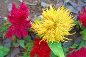 Cockscomb flowers in the garden. — Stock Photo