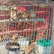 Sparrows in captivity for release at temple.  — Stock Photo #41459333