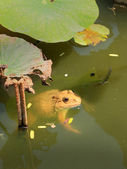 Frogs and green leaves in nature. — Stock Photo