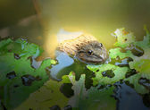 Frogs and green leaves in nature. — Stock fotografie