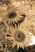 Bright yellow sunflowers in the nature — Stock Photo
