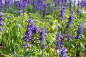 Dziedzinie szałwia fioletowe kwiaty — Zdjęcie stockowe