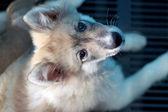 Bang Kaew dog Thailand — Stock Photo