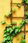 Green ivy leaves on wall — Stock Photo