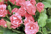 Κοντινό πλάνο κόκκινο τριαντάφυλλο — Φωτογραφία Αρχείου