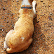 Dog lying crouched on the ground — Stock Photo #46484687