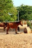 Cavalli in una fattoria — Foto Stock