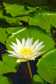Lotus white flower in the nature — Stock Photo