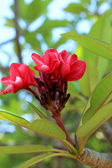 Red frangipani flower on tree — Stock Photo